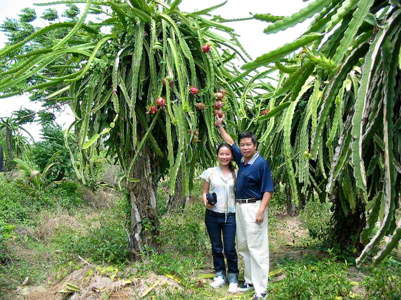 Dragon Fruit plant in Vietnam, Jack Goh on right in the photo