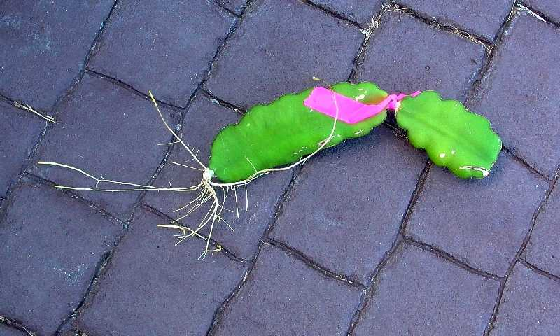 Growing Dragon Fruit From Vine Cuttings Grow Pitaya Grow Pitahaya